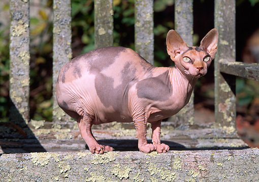 CAT 02 LS0001 01 © Kimball Stock Sphynx Cat Crouching On Wooden Bench