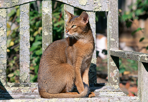 CAT 02 LS0002 01 © Kimball Stock Abyssinian Cat Sitting On Wooden Bench
