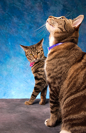 CAT 02 MQ0011 01 © Kimball Stock Two Tabby Cats Sitting Blue Background
