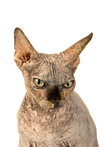 CAT 02 MR0002 01 © Kimball Stock Head On Shoulder Shot Of Sphynx Cat On White Seamless