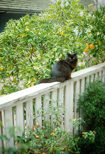 CAT 02 RC0004 01 © Kimball Stock Black Cat Sitting On Fence By Shrubs