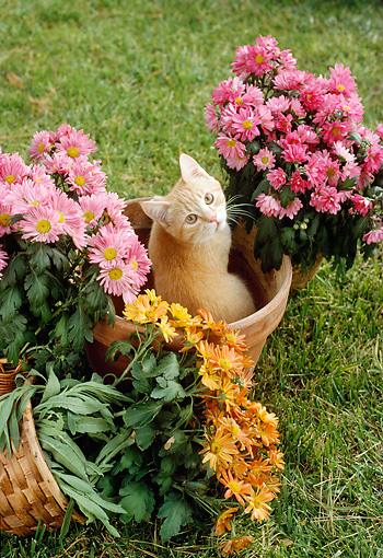 CAT 02 RC0005 01 © Kimball Stock Overhead View Of Orange Tabby Cat Sitting In Flower Pot By Flowers
