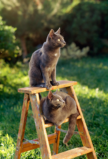 CAT 02 RC0006 01 © Kimball Stock Two Gray Cats Sitting On Ladder By Shrubs
