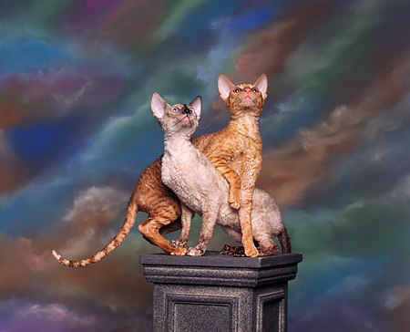 CAT 02 RK0007 01 © Kimball Stock Red McTabby & Tortie Point Cornish Rex Crossed Looking Up On Pedestal
