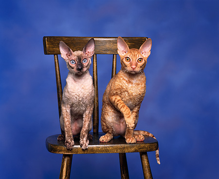 CAT 02 RK0009 01 © Kimball Stock Red McTabby & Tortie Point Cornish Rex Sitting On Chair