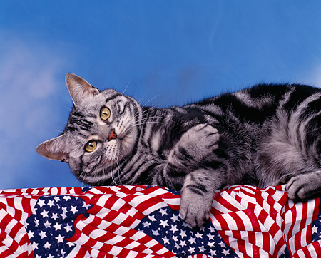 CAT 02 RK0024 01 © Kimball Stock American Shorthair Silver Tabby Laying On Side Studio