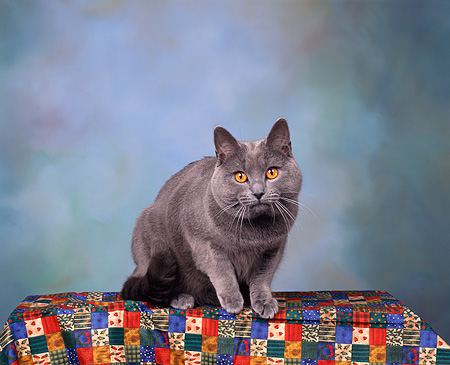 CAT 02 RK0035 01 © Kimball Stock Chartreux Blue Male Sitting Studio