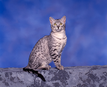 CAT 02 RK0049 02 © Kimball Stock Egyptian Mau Silver Spotted Sitting Studio