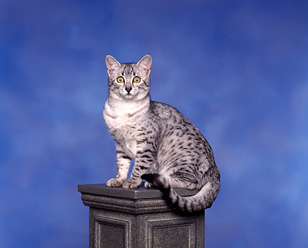 CAT 02 RK0051 05 © Kimball Stock Egyptian Mau Silver Spotted Sitting On Pedestal Studio