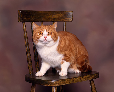 CAT 02 RK0053 02 © Kimball Stock British Shorthair White And Red Classic Tabby Sitting On Chair Studio