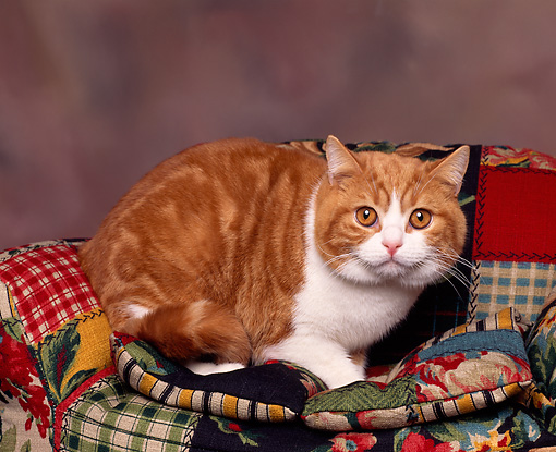 CAT 02 RK0055 05 © Kimball Stock British Shorthair White And Red Classic Tabby Laying On Colorful Couch Facing Camera