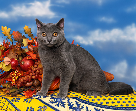 CAT 02 RK0123 06 © Kimball Stock Chartreux Blue Sitting By Fall Decorations Studio
