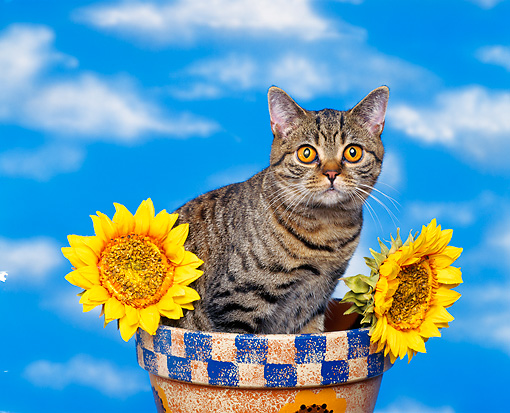 CAT 02 RK0132 07 © Kimball Stock British Shorthair Brown Tabby Sitting In Flower Pot By Sunflowers Studio