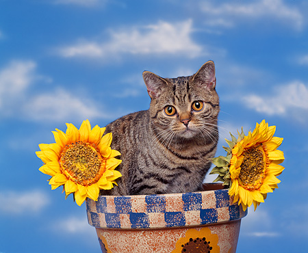 CAT 02 RK0132 08 © Kimball Stock British Shorthair Brown Tabby Sitting In Flower Pot By Sunflowers Studio