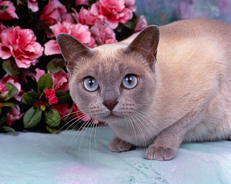 CAT 02 RK0136 02 © Kimball Stock Close Up Of Tonkinese Platinum Mink Laying By Pink Flowers Studio