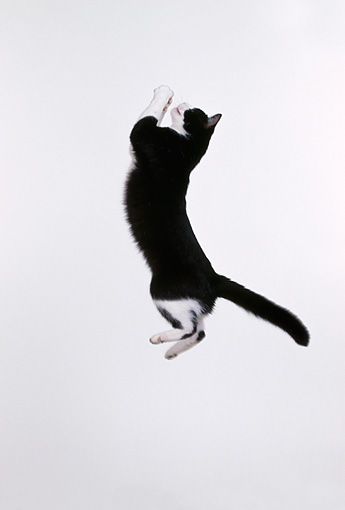 CAT 02 RK0238 08 © Kimball Stock Black And White Cat Jumping In Air Playing With Toy White Seamless Studio