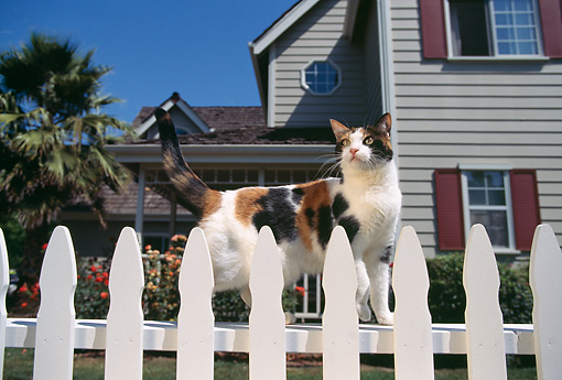 CAT 02 RK0303 08 © Kimball Stock Calico Cat Standing By White Fence