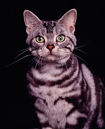 CAT 02 RK0323 02 © Kimball Stock Head Shot Of American Shorthair Classic Silver Tabby Studio