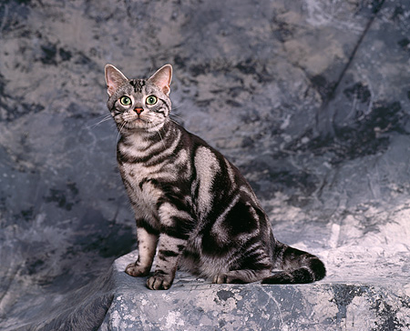 CAT 02 RK0327 01 © Kimball Stock American Shorthair Classic Silver Tabby Sitting Studio
