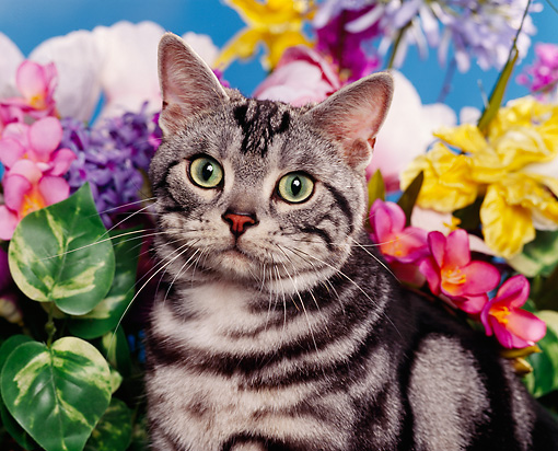 CAT 02 RK0333 01 © Kimball Stock Head Shot Of American Shorthair Classic Silver Tabby By Flowers Studio