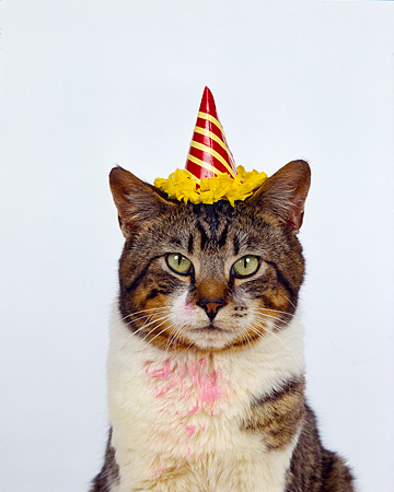 CAT 02 RK0338 05 C Kimball Stock Head Shot White Brown Tabby Cat Wearing Party Hat