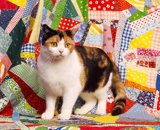 CAT 02 RK0383 05 © Kimball Stock Calico American Shorthair Cat Sitting On Quilt Studio