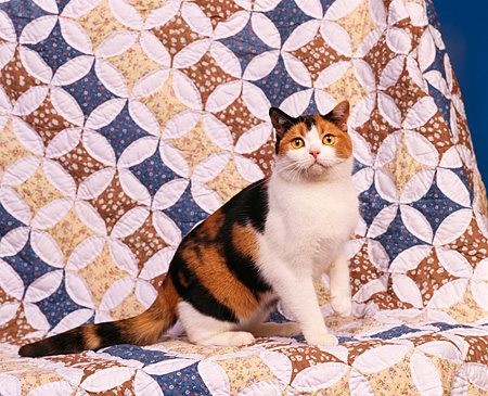 CAT 02 RK0385 03 © Kimball Stock American Shorthair Calico Sitting Studio