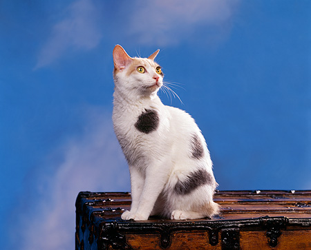 CAT 02 RK0400 04 © Kimball Stock Japanese Bobtail Sitting On Chest Studio