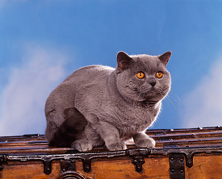 CAT 02 RK0401 02 © Kimball Stock British Shorthair Blue Sitting On Chest Studio