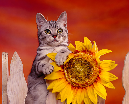 CAT 02 RK0407 02 © Kimball Stock American Shorthair Silver Tabby Sitting On Fence By Sunflower Studio