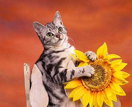 CAT 02 RK0407 07 © Kimball Stock American Shorthair Silver Tabby Sitting On Fence By Sunflower Studio