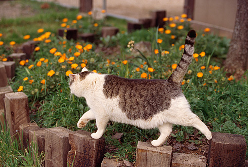 CAT 02 RK0428 04 © Kimball Stock Brown Tabby And White Cat Walking Across Garden