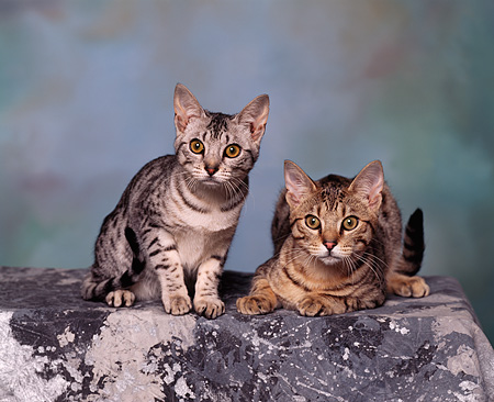 CAT 02 RK0455 06 © Kimball Stock Ocicat Silver And Tawny Sitting Studio