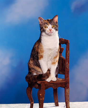 CAT 02 RK0477 02 © Kimball Stock American Wirehair Calico Sitting On Chair Studio