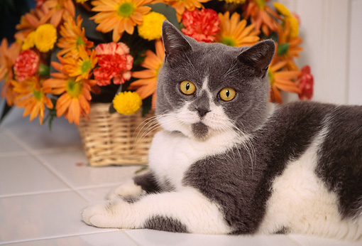 CAT 02 RK0502 02 © Kimball Stock British Shorthair Blue And White Laying By Basket Of Flowers On White Tile