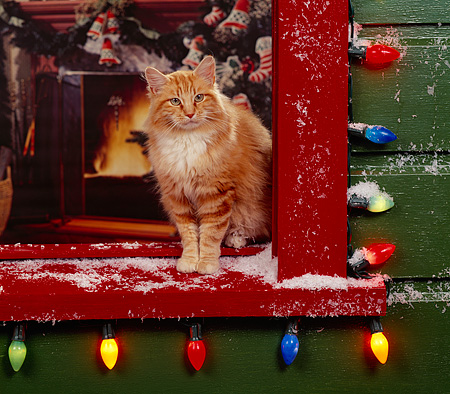 CAT 02 RK0505 04 © Kimball Stock Orange And White Cat Standing By Window With Christmas Lights