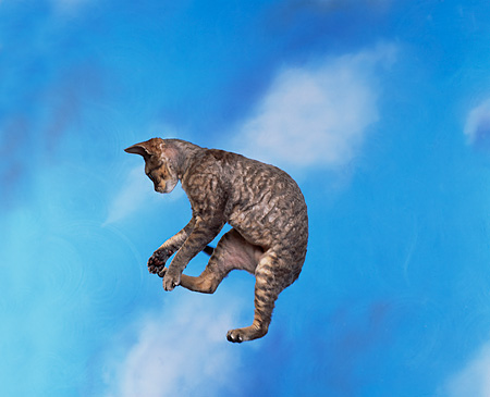 CAT 02 RK0515 03 © Kimball Stock Devon Rex Silver Tabby Cat Jumping In Air Studio