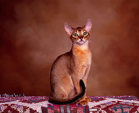 CAT 02 RK0520 02 © Kimball Stock Rudy Abyssinian Male Sitting On Blanket Facing Camera Brown Background