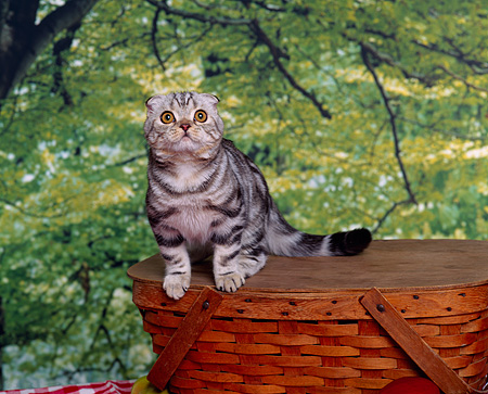 CAT 02 RK0538 04 © Kimball Stock Scottish Fold Silver Tabby Sitting On Top Of Basket Studio