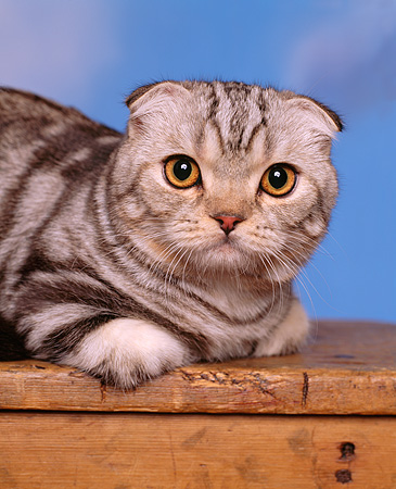 CAT 02 RK0541 02 © Kimball Stock Head Shot Of Scottish Fold Silver Tabby Laying On Wooden Table Studio