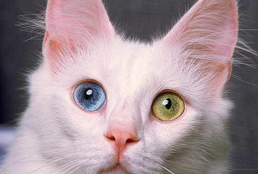 CAT 02 RK0560 06 © Kimball Stock Close Up Of White Bi Color Eyes Cat
