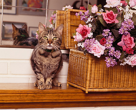CAT 02 RK0569 05 © Kimball Stock Tabby Cat Sitting On Wooden Mantle By Flowers And Mirrors