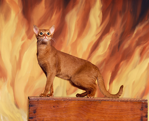 CAT 02 RK0583 09 © Kimball Stock Abyssinian Ruddy Standing On Wooden Box Flames Studio