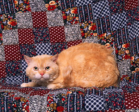 CAT 02 RK0608 04 © Kimball Stock Selkirk Rex Red Laying Studio