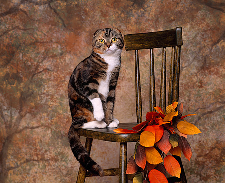 CAT 02 RK0617 03 © Kimball Stock Scottish Fold Patched Tabby and White Sitting On Chair By Fall Colored Leaves Studio