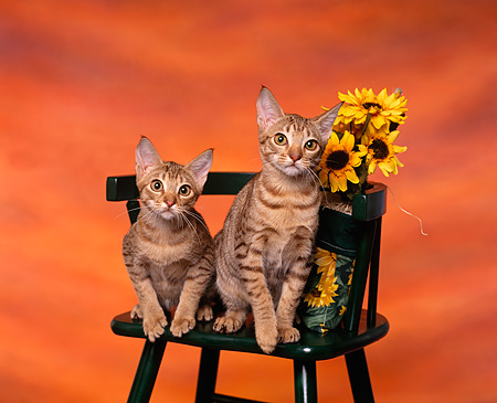 CAT 02 RK0633 01 © Kimball Stock Ocicat Tawny Sitting On Chair By Yellow Flowers Studio