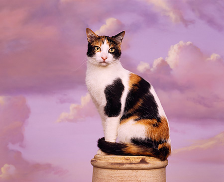 CAT 02 RK0635 02 © Kimball Stock Calico Cat Sitting On Pedestal Studio