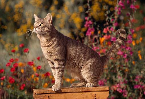CAT 02 RK0643 09 © Kimball Stock Gray Tabby Cat On Wooden Table By Flower Garden