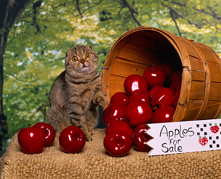 CAT 02 RK0656 02 © Kimball Stock Scottish Fold Brown Tabby Sitting By Bucket Of Apples Studio