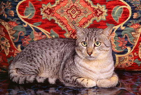 CAT 02 RK0669 02 © Kimball Stock Egyptian Mau Silver Laying Studio
